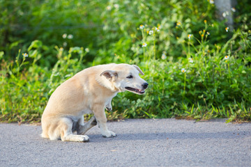 thai white dog scrashing on the stree with green field background, side view picture.