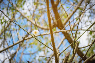 Japanese apricot flower Among leaves