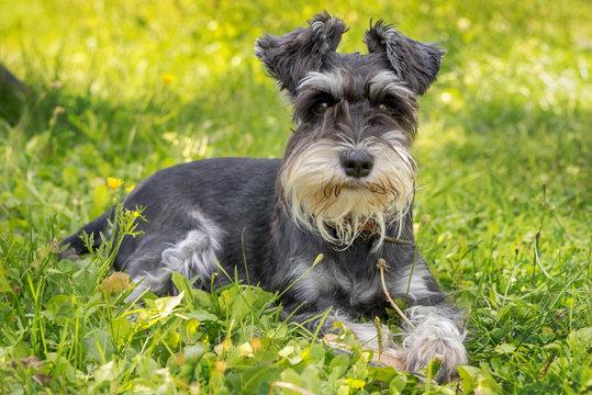beautiful portrait of miniature schnauzer in the green grass