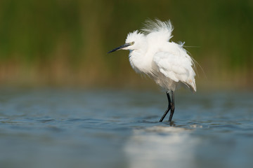 Little egret in wedding plumage