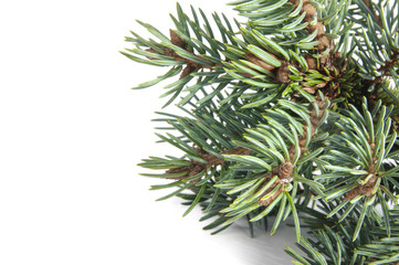 The branches of blue pine trees on a white background..