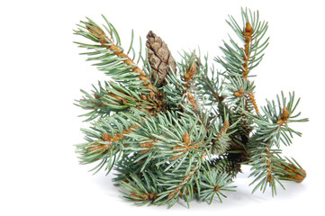 The branch of blue spruce on white background..