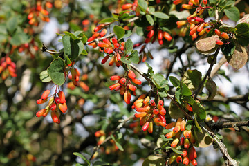Common barberry (Berberis vulgaris) is particularly decorative i