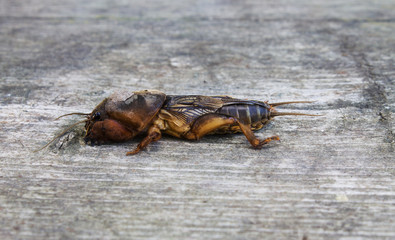 mole cricket on a gray wooden background