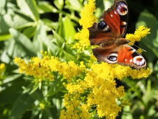 european peacock butterfly sucking nectar on a yellow flower