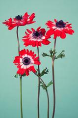 Flower arrangement of red ranunculus on vintage blue background
