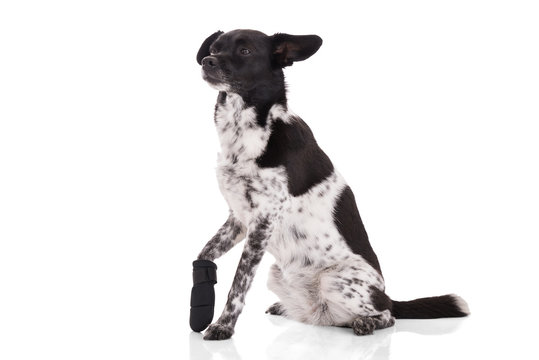 Portrait Of A Dog With Injured Paw