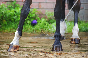Wet dark brown horse legs being washed with a water after the training outdoors
