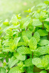 Green mint leaves background. Mint leaf green plants with aromat