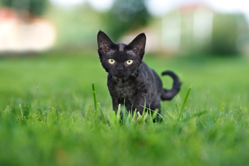 black devon rex kitten portrait outdoors