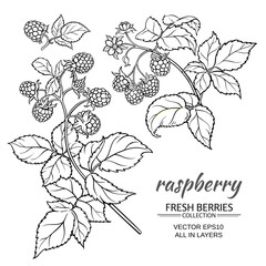 raspberry vector set