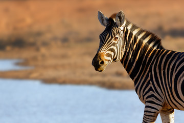 Wall Mural - Portrait of a zebra in golden light at watering hole. Equus quagga