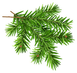 Green fluffy fir branch