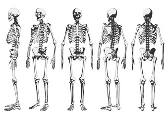 Human skeleton set. Vector illustration.