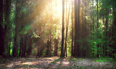 Fototapete - Misty old forest with sun rays, shadows and fog
