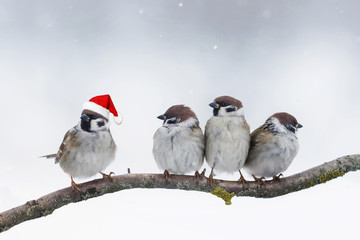 Wall Mural - funny birds sparrows sitting on a branch in winter Christmas hats