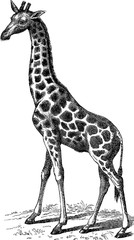 Vintage illustration giraffe
