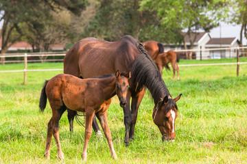 Horses Newborn Foals in field  farm