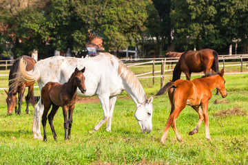 Horses Newborn Foals in field breeding farm