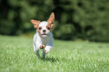 cute spaniel puppy running in a park