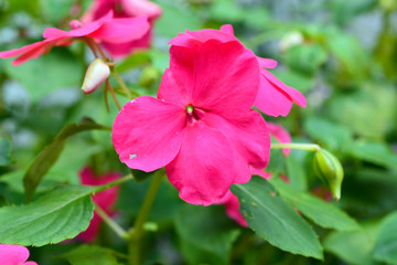 Hot Pink Impatient Flowers Blooming in a Garden