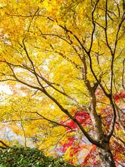 Wall Mural - Gelber Ahornbaum im Herbst