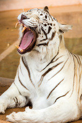 White Tiger at the zoo