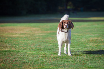 a dog, standing in a green meadow in the sunlight