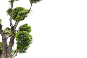Tamarind tree on white background,green background,bonsai tree on a white background