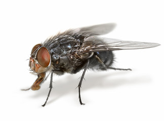 Anatomy of a fly