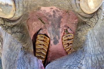 Elefant mit aufgerissenem Maul Detail