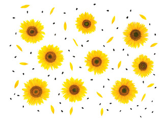 Flowers, petals and seed sunflower (Helianthus annuus) on white background (texture). Flat lay