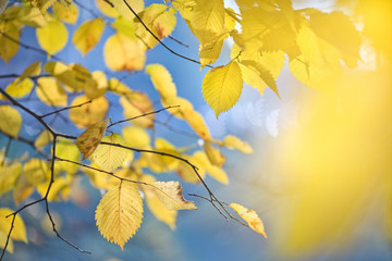 Blurred autumn background with golden leaves in wind.