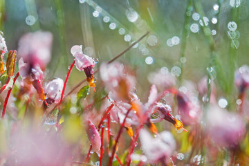 Close-up shot of cranberry flowers with rain drops blurred natur