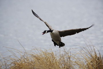 A Canada Geese comes in for a landing on the shore line at the bird sanctuary at Frank Lake near High River, Alberta.