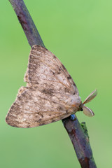 Lymantria dispar, the gypsy moth