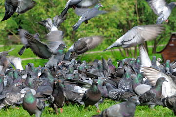 Takes off from the ground a flock of pigeons