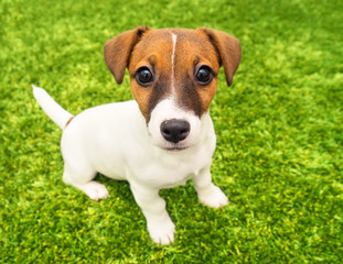Puppy Jack Russell Terrier playing in the bright carpet close-up