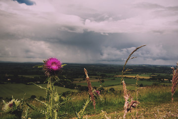 Pink thistle against view over the Chilterns in Buckinghamshire