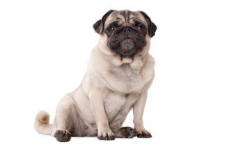 Foto auf AluDibond Hund schattige onderuitgezakt zittende hond, mopshond, met guitige snoet, geisoleerd op witte achtergrond