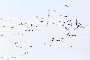 Greylag geese Bird migration in autumn