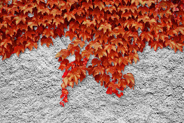 Roughcast with red climbing ivy