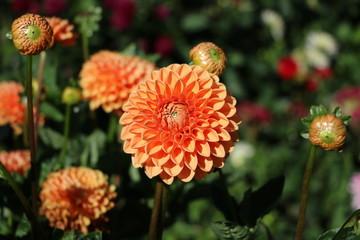 Orange Pompon Dahlia cultivar 'Bantling' in the garden