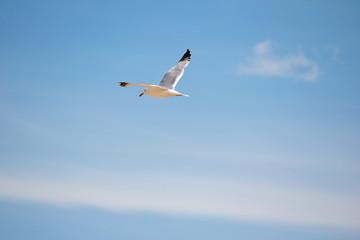 Белая чайка летит в голубом небе