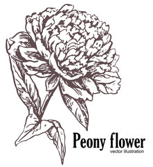 Peony in vintage style. Vector illustration. Flowers and leaves of peony, a set of hand painted design elements.