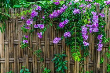 Bamboo fence / Bamboo fence with Garlic Vine flowers of rural house in Thailand