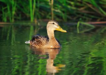 Amazing mallard duck swims in river in the morning light.