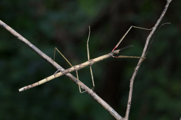 Stick insect in Southeast Asia.