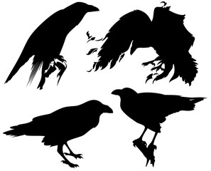 raven birds black vector silhouette set