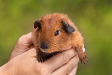 hands holding guinea pig